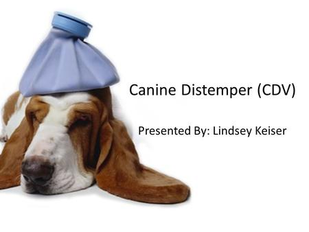 Canine Distemper (CDV) Presented By: Lindsey Keiser.