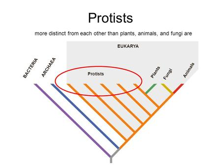 EUKARYA BACTERIA ARCHAEA Protists Plants Fungi Animals Protists more distinct from each other than plants, animals, and fungi are.