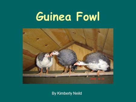 fowl guinea production thesis The physiological responses of guinea fowl during production are rarely investigated and most research involving current poultry thesis ) ) ) fowl (.