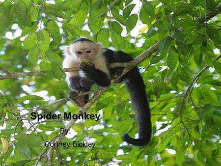 Spider Monkey By: Cortney Bickley. Description Classification Kingdom: Animalia Phylum: Chordate Class: Mammalian Order: Primates Family: Adelaide Genus: