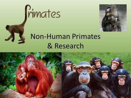 Non-Human Primates & Research. Primate Family Tree.