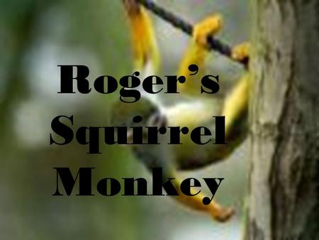 Roger's Squirrel Monkey.. Squirrel monkey 101  Squirrel monkeys live in the tropical forests of Central and South America.  Squirrel monkeys grow to.