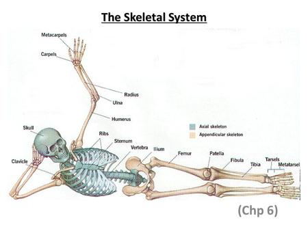 The Skeletal System (Chp 6).