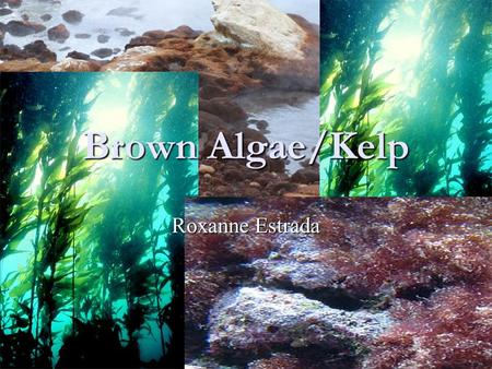 Brown Algae/Kelp Roxanne Estrada. Brown Algae The Phaeophyceae or brown algae, is a large group of mostly marine multicellular algae They play an important.