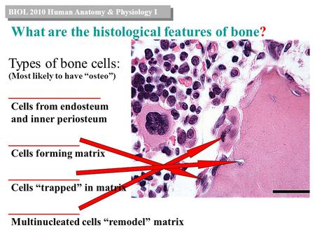 What are the histological features of bone?