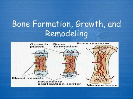 Bone Formation, Growth, and Remodeling 1 1. Formation and Growth  Bone forms via a process called ossification or osteogenesis  As an embryo we all.