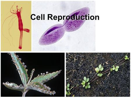 Cell Reproduction.