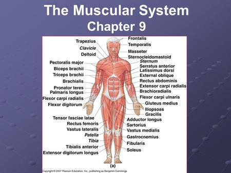 The Muscular System Chapter 9.