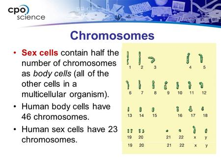 Chromosomes Sex cells contain half the number of chromosomes as body cells (all of the other cells in a multicellular organism). Human body cells have.