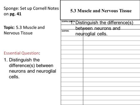 Sponge: Set up Cornell Notes on pg. 41 Topic: 5.3 Muscle and Nervous Tissue Essential Question: 1.Distinguish the difference(s) between neurons and neuroglial.