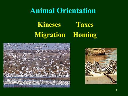 1 Animal Orientation KinesesTaxes MigrationHoming.