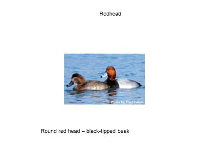 Redhead Round red head – black-tipped beak. Blue-winged Teal Blue fore-wing; white crescent on face.