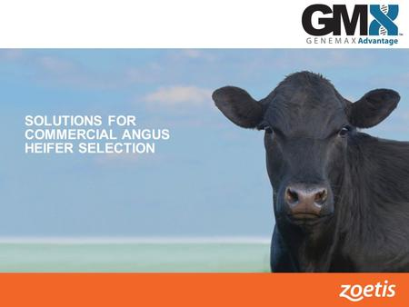 SOLUTIONS FOR COMMERCIAL ANGUS HEIFER SELECTION.