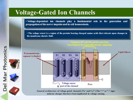 Voltage-Gated Ion Channels Voltage-dependent ion channels play a fundamental role in the generation and propagation of the nerve impulse and in cell homeostasis.