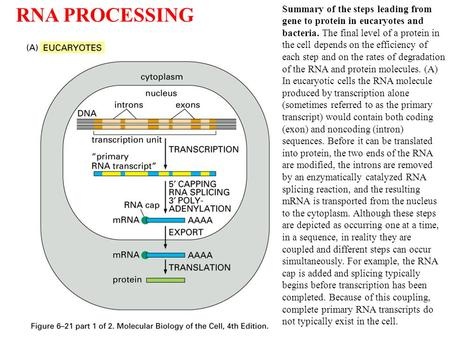 Summary of the steps leading from gene to protein in eucaryotes and bacteria. The final level of a protein in the cell depends on the efficiency of each.