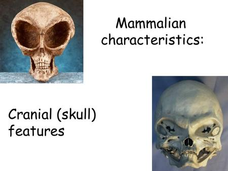 Mammalian characteristics: Cranial (skull) features.