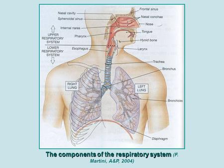 The components of the respiratory system The components of the respiratory system (F. Martini, A&P, 2004)