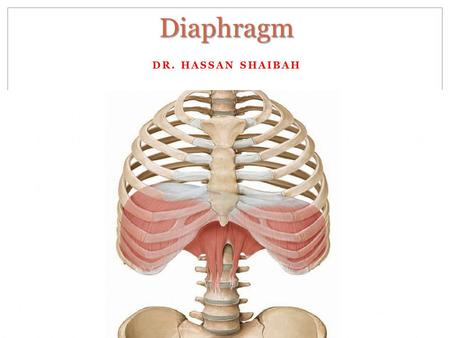 DR. HASSAN SHAIBAH Diaphragm. Diaphragm Function: Primary muscle of respiration Increase vertical diameter of thoracic cavity Increases abdominal pressure.