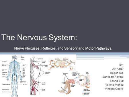 The Nervous System: Nerve Plexuses, Reflexes, and Sensory and Motor Pathways. By: Avi Asraf Roger Yee Santiago Roybal Sasha Buz Valeria Muňoz Vincent Cottrill.