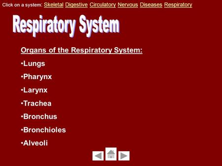 Organs of the Respiratory System: Lungs Pharynx Larynx Trachea Bronchus Bronchioles Alveoli Click on a system : Skeletal Digestive Circulatory Nervous.