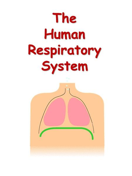 The Human Respiratory System. Respiratory System.