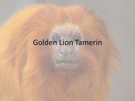Golden Lion Tamerin By Gabby Ms. Weinberg. Golden Lion Tamirin.