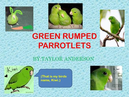 GREEN RUMPED PARROTLETS BY:TAYLOR ANDERSON (That is my birds name, Kiwi.)