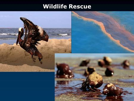 Wildlife Rescue. Many birds dive for their food ~ picking up oil as they pass through the surface.
