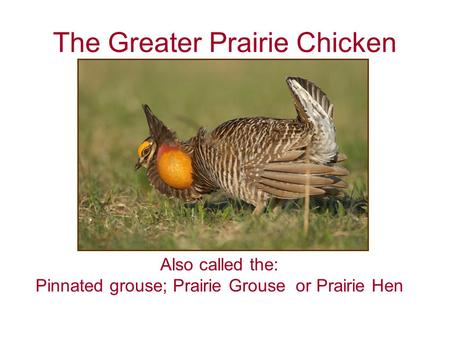 The Greater Prairie Chicken Also called the: Pinnated grouse; Prairie Grouse or Prairie Hen.