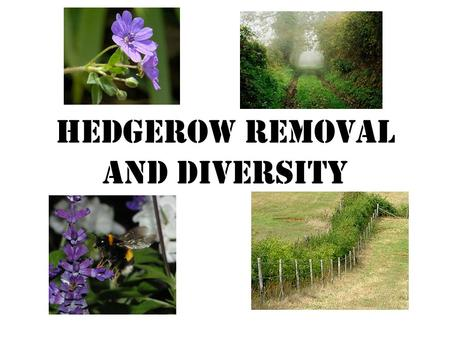 Hedgerow removal and Diversity. The problem In the 1940's there were 805 000 kilometres of hedgerow across Britain. The removal of hedgerows was started.