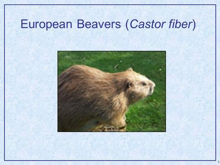 1 European Beavers (Castor fiber). 2 European Beavers  Often do not construct large dams – ability was largely lost during isolation in European sites.