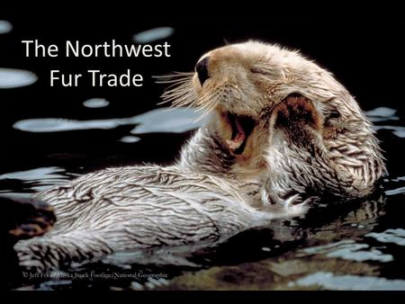 The Northwest Fur Trade. The Companies What were the four major fur trading companies that operated in the Pacific Northwest in the 1700s and 1800s? –