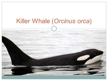 Killer Whale (Orcinus orca). The Basics Belong to the oceanic dolphin family Found in all oceans Apex predators Matriarchal societies Imitate others,