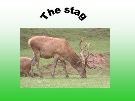 Systematic General Horns Reproduction Hind and dam Hind and dam Extremities Food Enemies Use and threat Use and threat The stags.