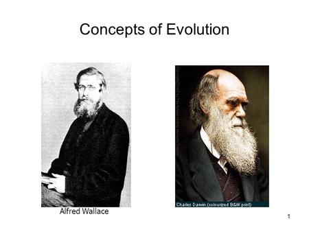 1 Concepts of Evolution Alfred Wallace. 2 Natural Selection through Sexual Reproduction From so simple a beginning, endless forms….