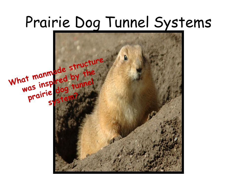 Prairie Dog Tunnel Systems
