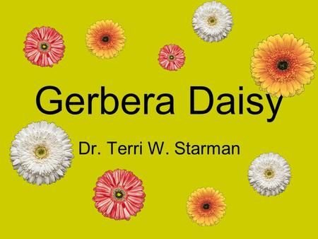 Gerbera Daisy Dr. Terri W. Starman. History Discovered by botanist Robert Jameson in 1878 Origin: South Africa The Botanical gardens in Kew, England identified.
