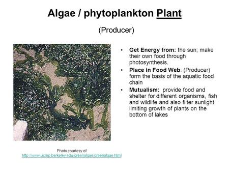 Algae / phytoplankton Plant (Producer) Get Energy from: the sun; make their own food through photosynthesis. Place in Food Web: (Producer) form the basis.