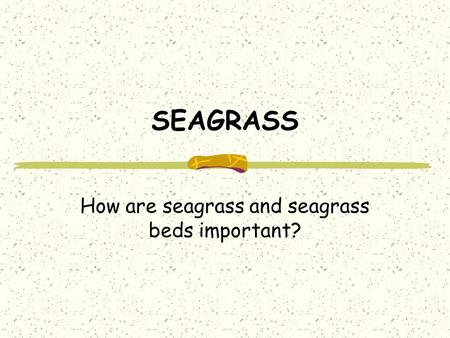 SEAGRASS How are seagrass and seagrass beds important?