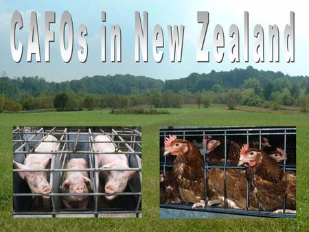 CAFO's in New Zealand CAFOs in New Zealand Done by Jaye