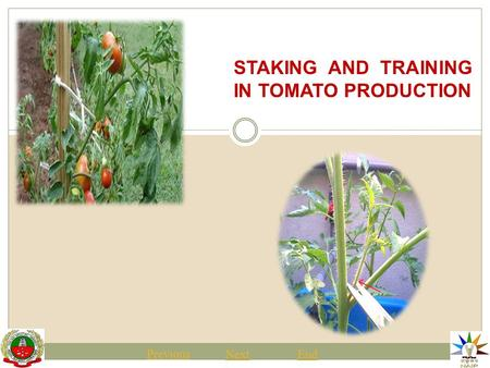 STAKING AND TRAINING IN TOMATO PRODUCTION Previous NextEnd.