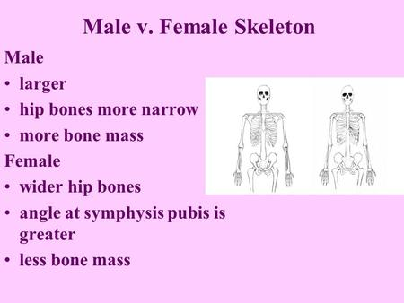 Male v. Female Skeleton Male larger hip bones more narrow more bone mass Female wider hip bones angle at symphysis pubis is greater less bone mass.