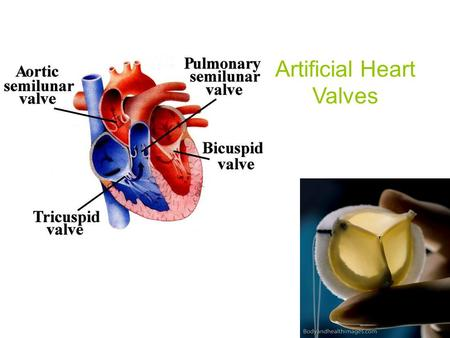 Artificial Heart Valves. Heart/Heart Valves Heart consists of: Right Atrium and Ventricle Atrium Left Atrium and Ventricle Two Types of Valves: Atrioventricular.