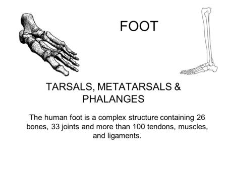 FOOT TARSALS, METATARSALS & PHALANGES The human foot is a complex structure containing 26 bones, 33 joints and more than 100 tendons, muscles, and ligaments.