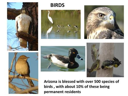 BIRDS Arizona is blessed with over 500 species of birds, with about 10% of these being permanent residents.