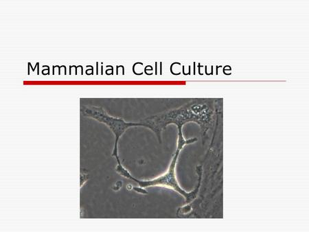 Mammalian Cell Culture. What is cell culture, exactly?  Cells, previously growing in a human or animal modified to grow in plastic or glass In the body.