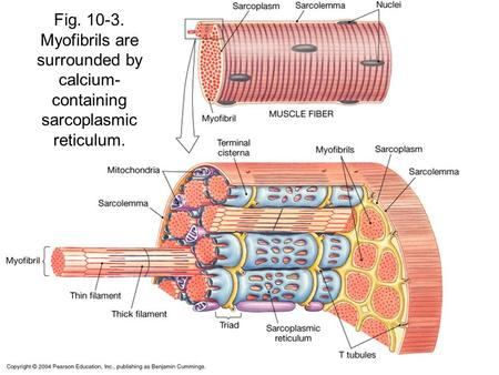 Fig. 10-3. Myofibrils are surrounded by calcium- containing sarcoplasmic reticulum.