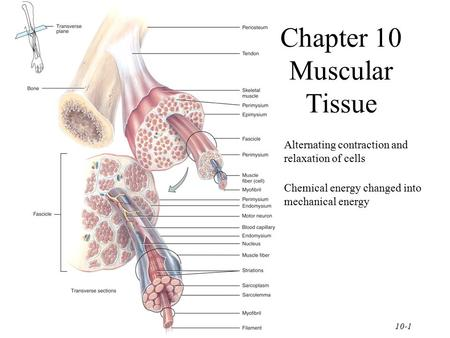 10-1 Chapter 10 Muscular Tissue Alternating contraction and relaxation of cells Chemical energy changed into mechanical energy.