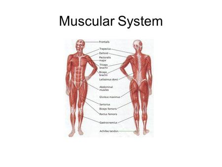 Muscular System. 1.The Skeleton and its joints support, protect, and provide flexibility for the body, but the Skeleton CANNOT Move Itself. 2. That job.