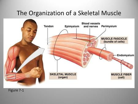The Organization of a Skeletal Muscle Figure 7-1.